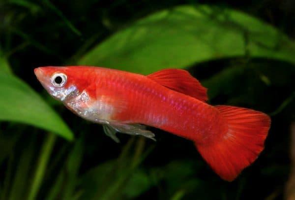 Гуппи красивая рыбка