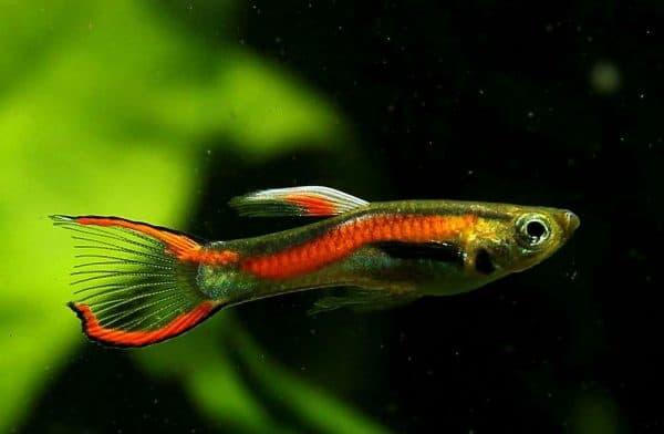 Гуппи удивительная рыбка