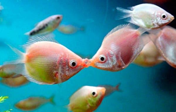 Гурами целующаяся