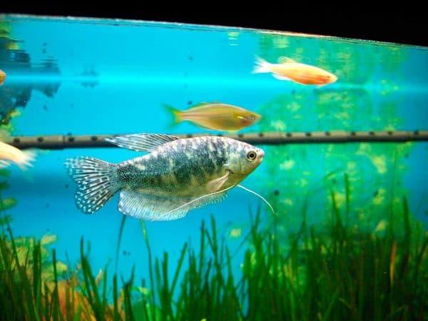 Гурами красивая рыбка