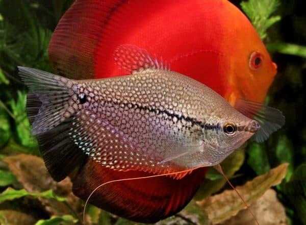 Гурами жемчужный изумительная рыбка