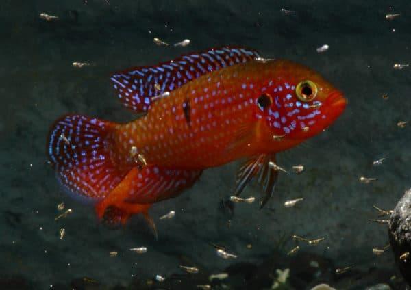 Хромис-красавец изумительная рыбка