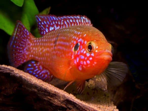Хромис-красавец рыбка