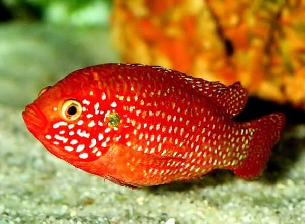 Хромисы-красавцы рыбки