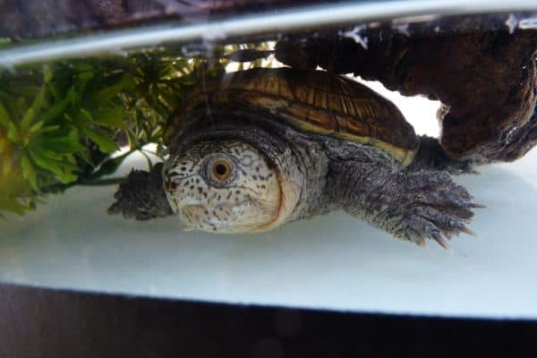 Иловая (головастая) черепаха
