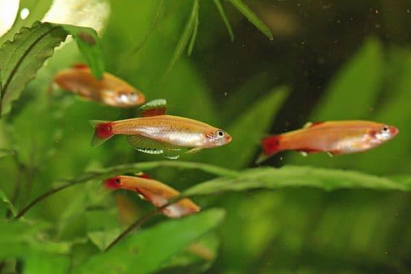 Кардинал красивая рыбка