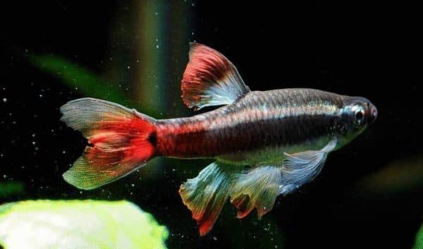 Кардиналы - аквариумные рыбки