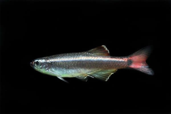 Кардиналы. Содержание, фото рыбки, видео, совместимость и разведение.