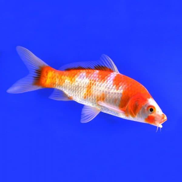 Карп-кои аквариумная рыбка