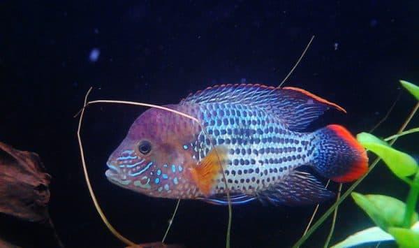 Красивая рыбка акара бирюзовая