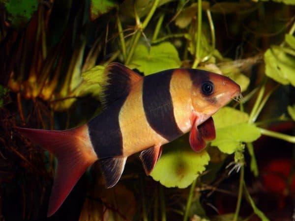 Красивая рыбка боция клоун