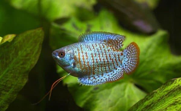 Красивая рыбка лялиус