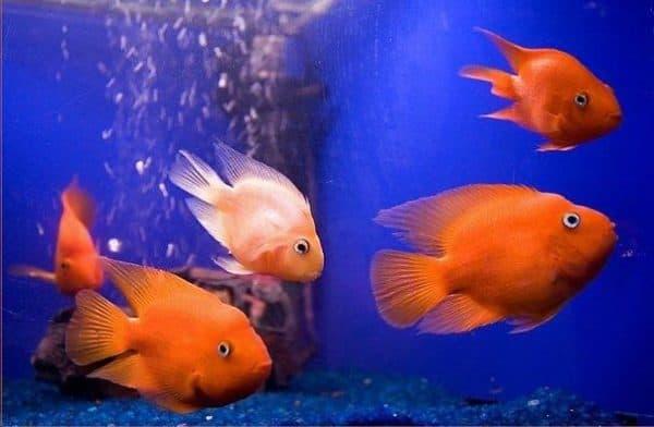 Красный попугай (рыба-попугай)