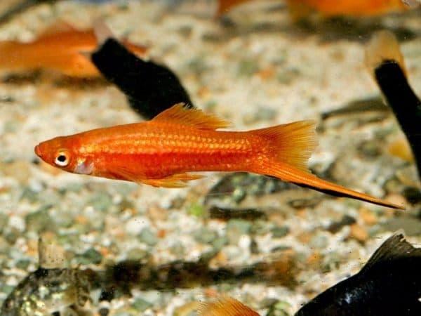 Меченосец потрясающая рыбка
