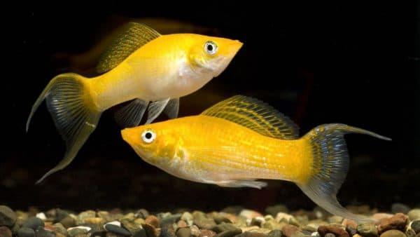 Моллинезии в аквариуме