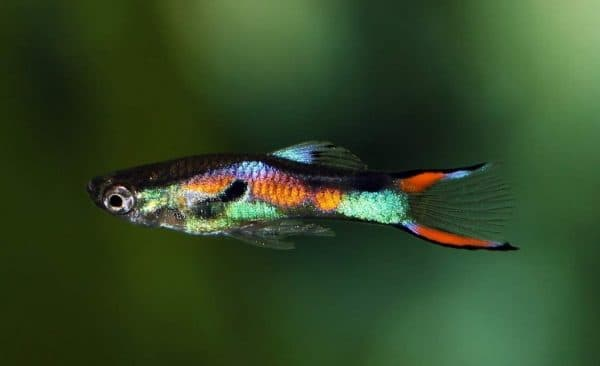 Моллинезия красивая рыбка