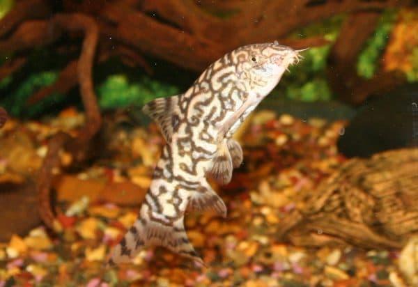 Мраморная боция рыбка