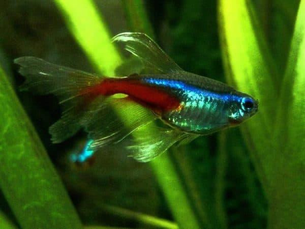 Неон рыбка вуалевая
