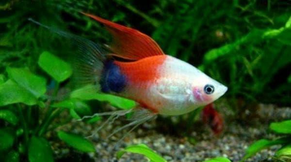 Пецилия рыбка