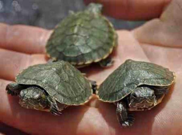 Плоские (плоскотелые) черепахи