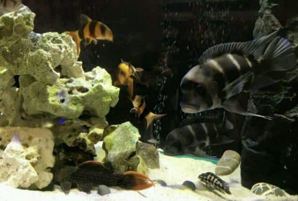 Рыба фронтоза