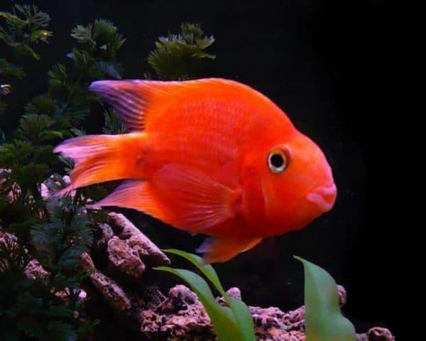 Рыба попугай аквариумная красная рыбка