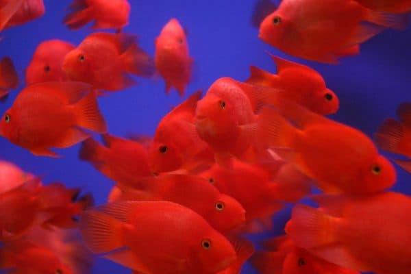 Рыба-попугай читайте статью