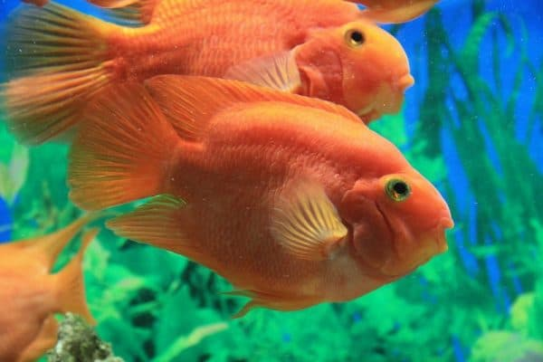 Рыба-попугай изумительный