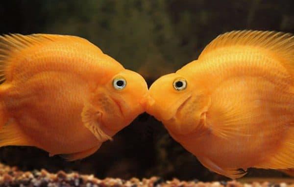 Рыба-попугай. Содержание, фото рыбки, видео, совместимость и разведение.