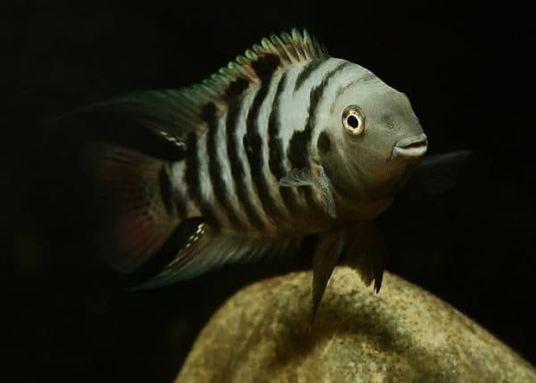 Рыбка чернополосая цихлазома