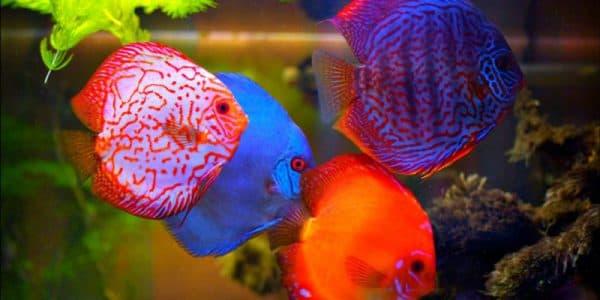 Рыбка дискус