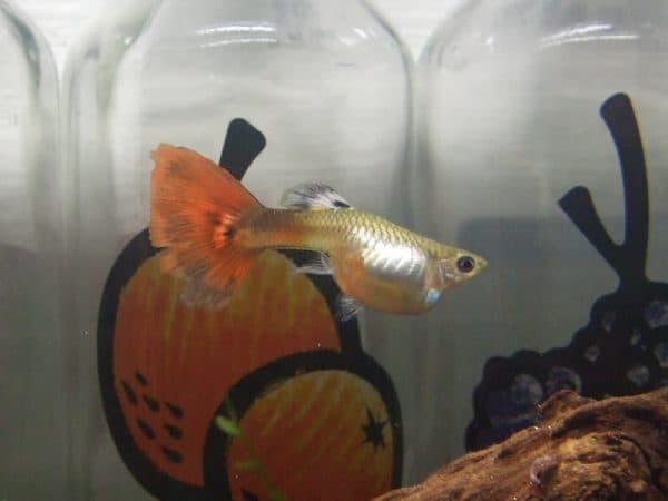 Рыбка гуппи беременна