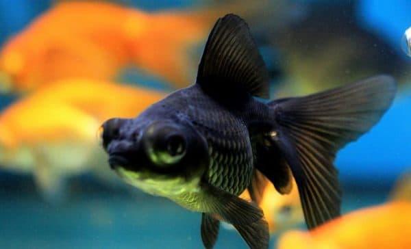 Рыбка телескоп красивая