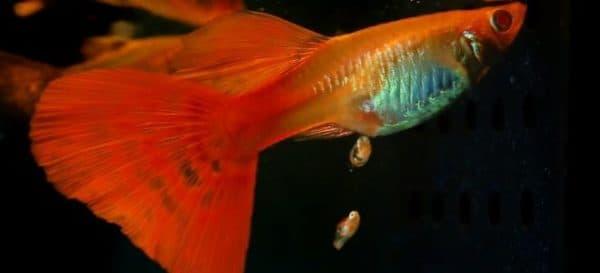 Рыбки гуппи размножение