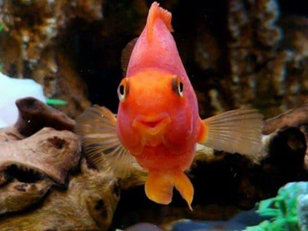Рыбы-попугаи красные