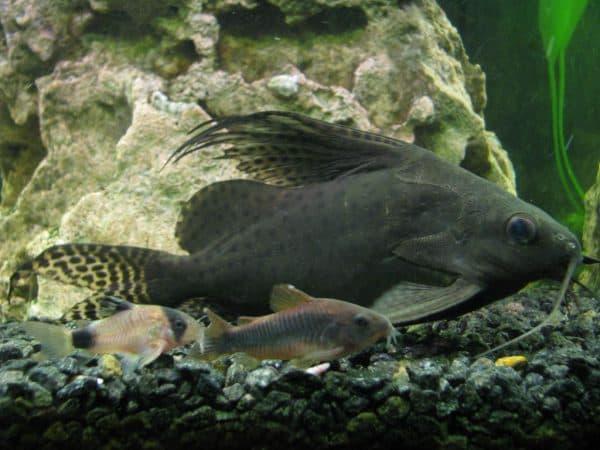 Синадонтис в аквариуме