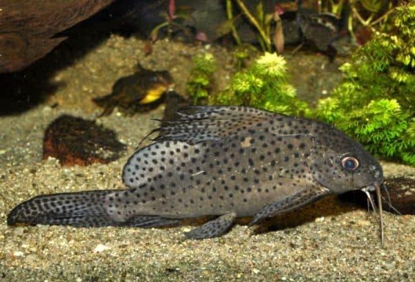 Синодонтис аквариумный сомик