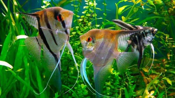 Скалярия в красивом аквариуме