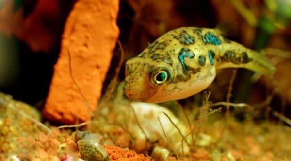 Тетрадон карликовый рыбка