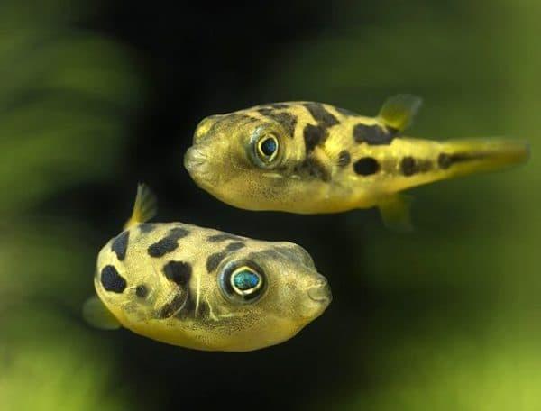 Тетрадон карликовый удивительные рыбки
