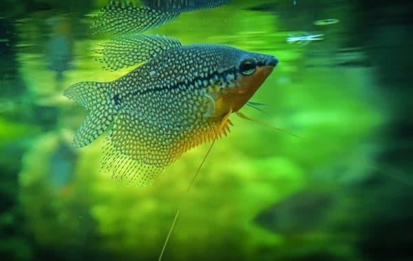 Жемчужный гурами - аквариумная рыбка