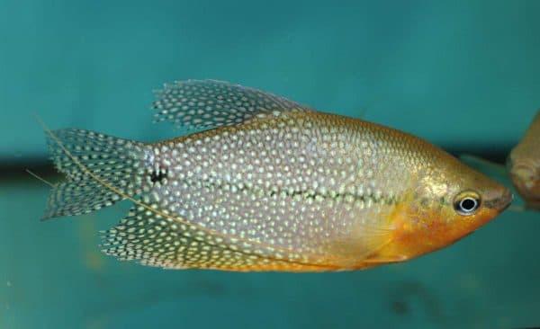 Жемчужный гурами рыбка