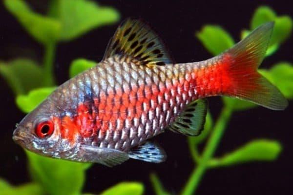Алый барбус рыбка