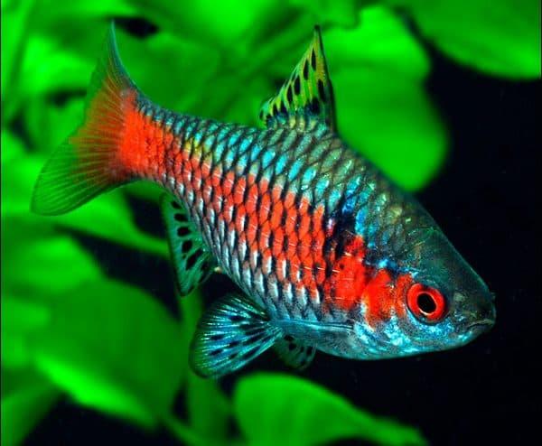 Алый барбус. Содержание, фото рыбки, видео, совместимость и разведение.