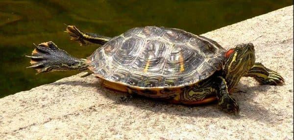 Болезни красноухих черепах читайте статью