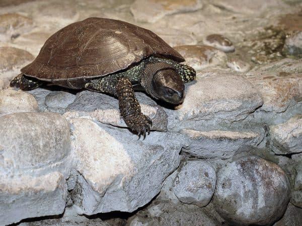 Европейская болотная черепашка
