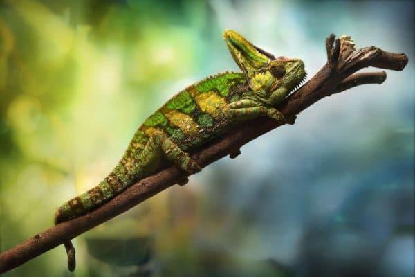 Йеменский хамелеон фото