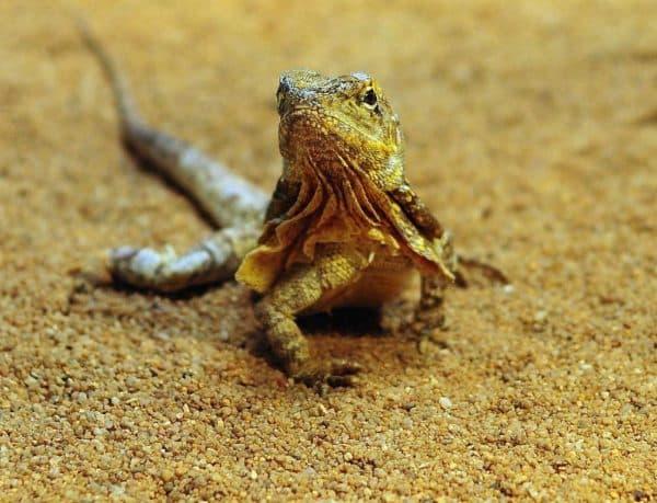 Красивая плащеносная ящерица