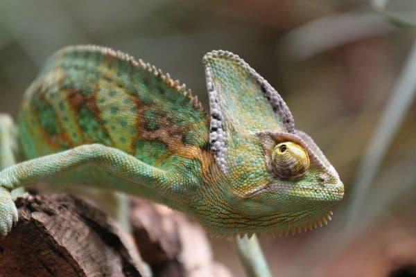 Красивый йеменский хамелеон