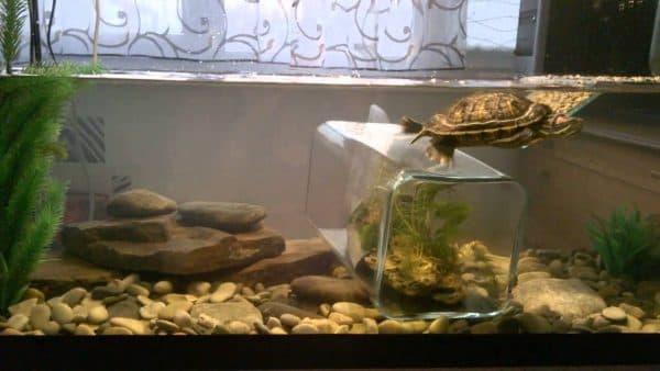 Красноухая Черепаха Тортилла